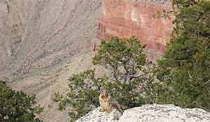 A Squirrel is sitting on the edge in Grand Canyon